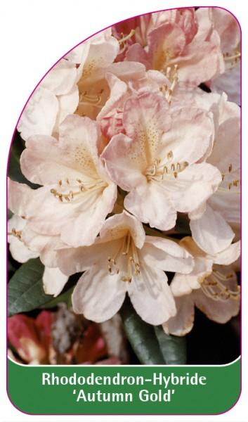 Rhododendron-Hybride 'Autumn Gold', 68 x 120 mm
