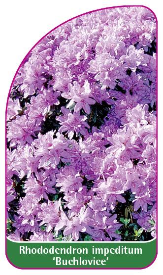 Rhododendron impeditum 'Buchlovice', 52 x 90 mm