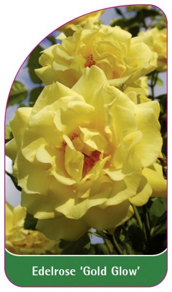 Edelrose 'Gold Glow', 68 x 120 mm