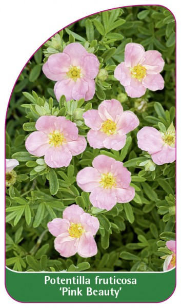 Potentilla fruticosa 'Pink Beauty', 68 x 120 mm