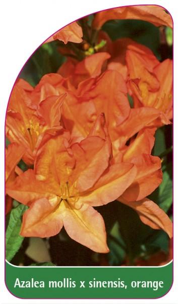 Azalea mollis x sinensis, orange, 68 x 120 mm