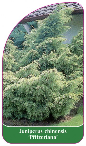 Juniperus chinensis 'Pfitzeriana', 68 x 120 mm