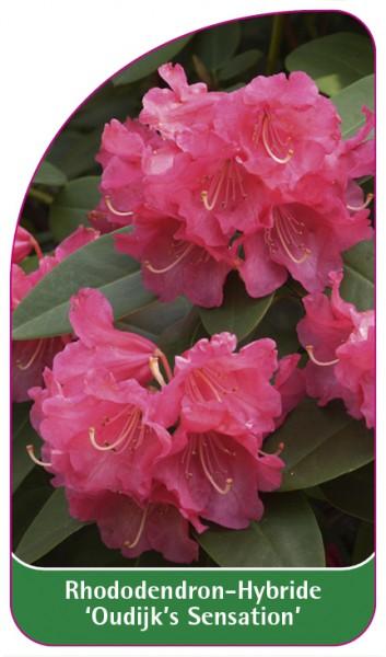 Rhododendron-Hybride 'Oudijk's Sensation', 68 x 120 mm
