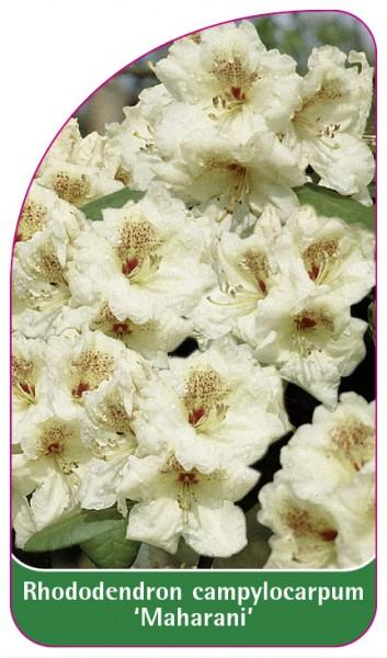 Rhododendron campylocarpum 'Maharani', 68 x 120 mm