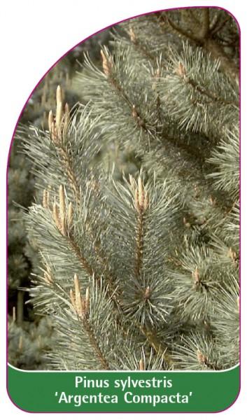Pinus sylvestris 'Argentea Compacta', 68 x 120 mm