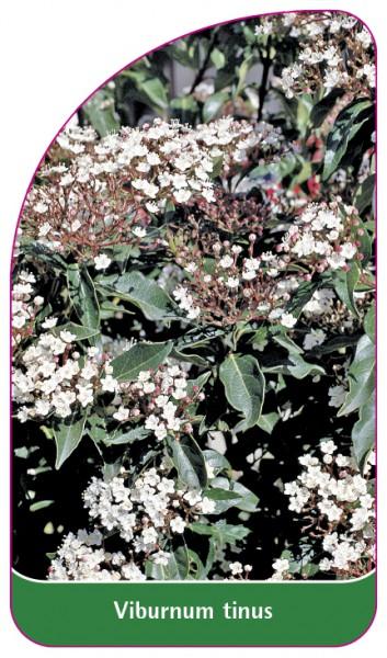 Viburnum tinus, 68 x 120 mm