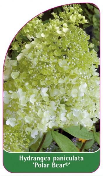 Hydrangea paniculata 'Polar Bear', 68 x 120 mm
