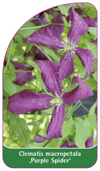 Clematis macropetala 'Purple Spider', 68 x 120 mm