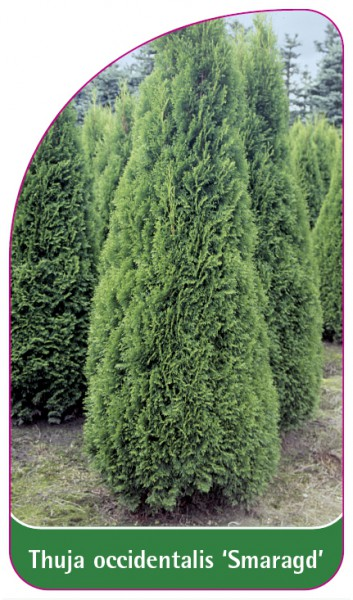 Thuja occidentalis 'Smaragd', 68 x 120 mm