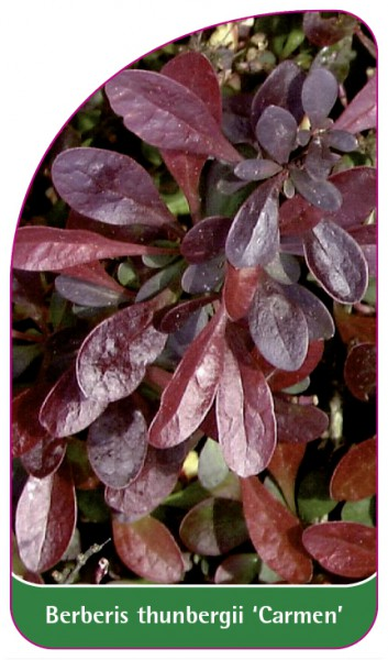 Berberis thunbergii 'Carmen', 68 x 120 mm