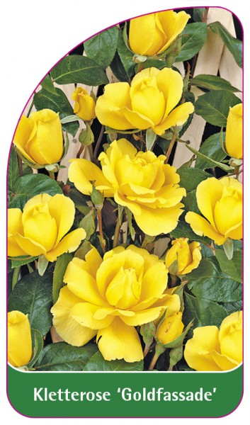 Kletterrose 'Goldfassade', 68 x 120 mm