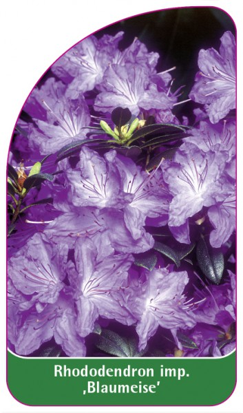 Rhododendron impeditum 'Blaumeise', 68 x 120 mm