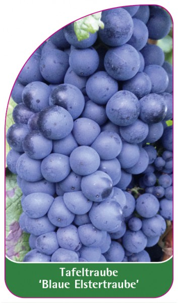 Tafeltraube 'Blaue Elstertraube', 68 x 120 mm