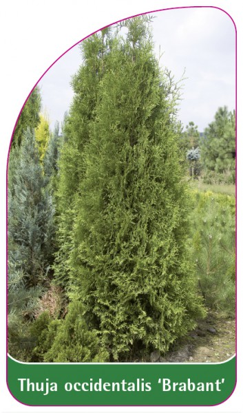 Thuja occidentalis 'Brabant', 68 x 120 mm