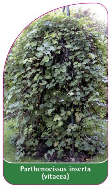 Parthenocissus inserta (vitacea), 68 x 120 mm