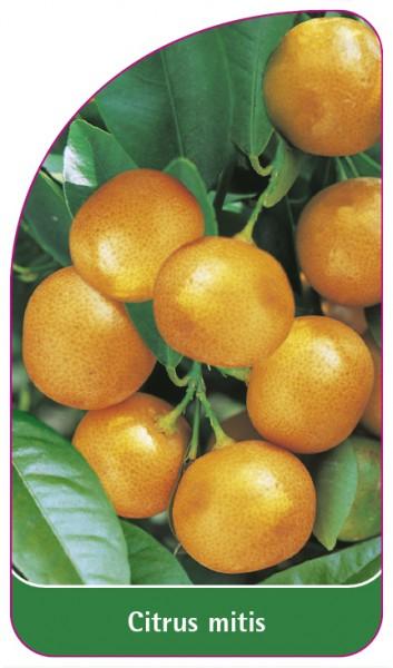 Citrus mitis, 68 x 120 mm
