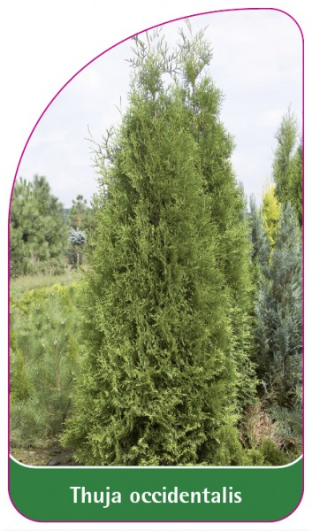 Thuja occidentalis, 68 x 120 mm