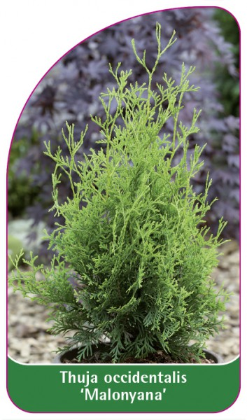 Thuja occidentalis 'Malonyana', 68 x 120 mm