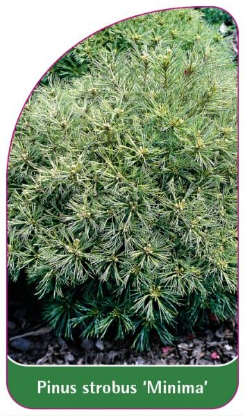 Pinus strobus 'Minima', 68 x 120 mm