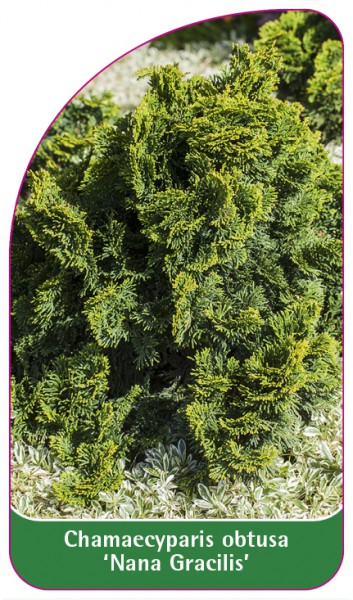 Chamaecyparis obtusa 'Nana Gracilis', 68 x 120 mm