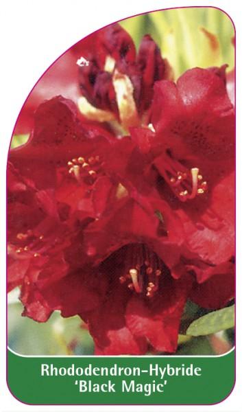 Rhododendron-Hybride 'Black Magic', 68 x 120 mm