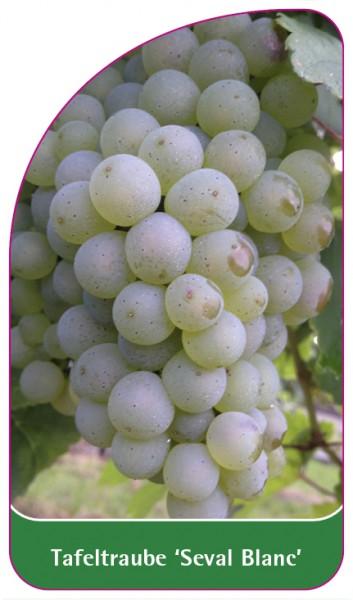 Tafeltraube 'Seval Blanc', 68 x 120 mm