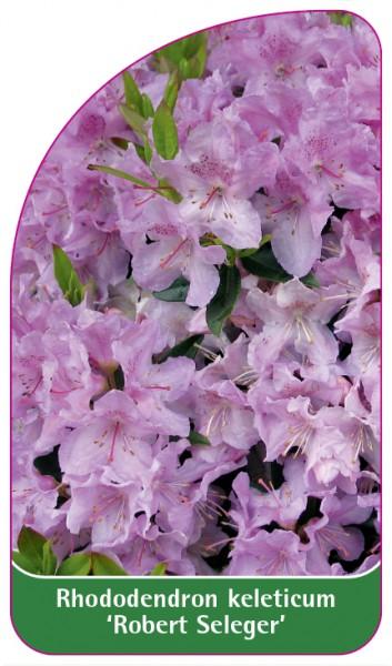 Rhododendron keleticum 'Robert Seleger', 68 x 120 mm