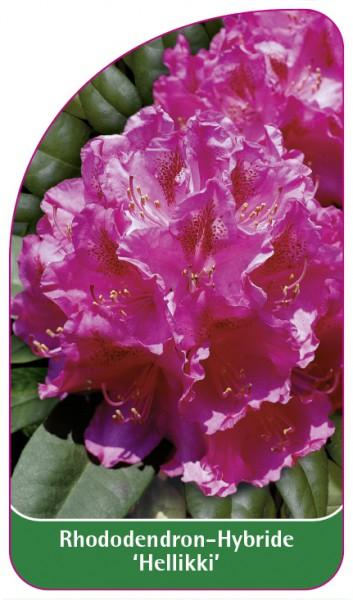 Rhododendron-Hybride 'Hellikki', 68 x 120 mm
