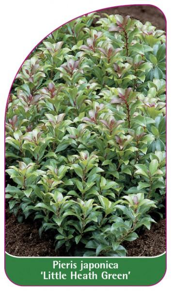 Pieris japonica 'Little Heath Green', 68 x 120 mm