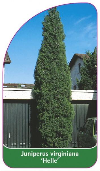 Juniperus virginiana 'Helle', 68 x 120 mm