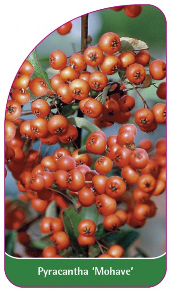 Pyracantha 'Mohave', 68 x 120 mm