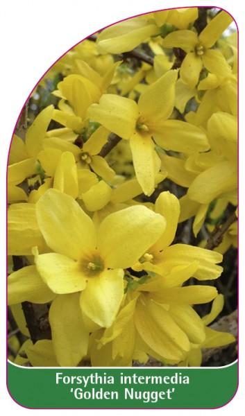 Forsynthia intermedia 'Golden Nugget', 68 x 120 mm
