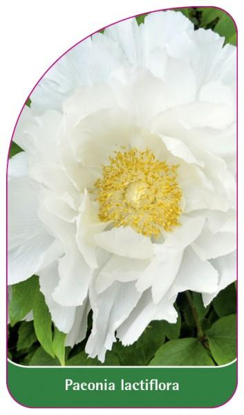 Paeonia lactiflora, 68 x 120 mm