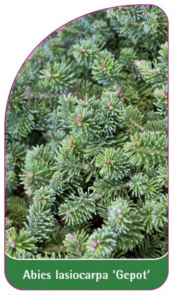 Abies lasiocarpa 'Gepot', 68 x 120 mm