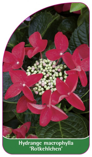 Hydrangea macrophylla 'Rotkehlchen', 68 x 120 mm
