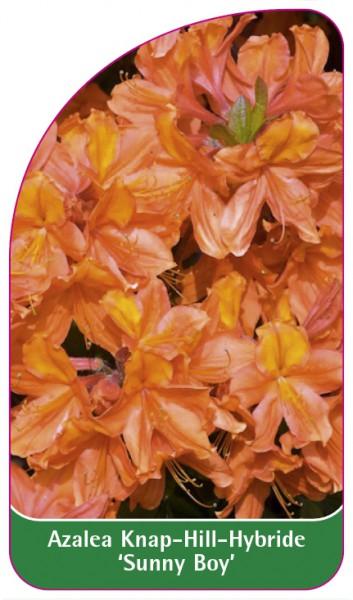 Azalea Knap-Hill-Hybride 'Sunny Boy', 68 x 120 mm