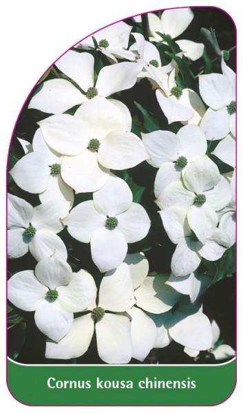 Cornus kousa chinensis, 68 x 120 mm
