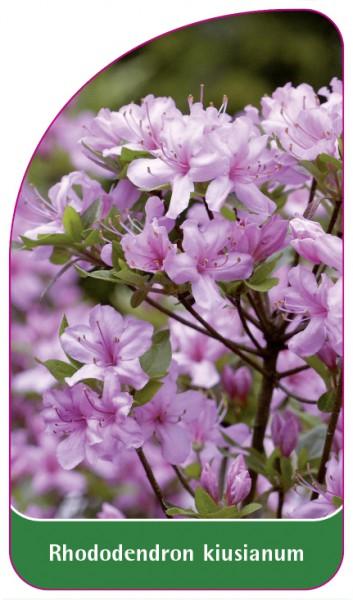 Rhododendron kiusianum, 68 x 120 mm