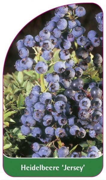Heidelbeere 'Jersey', 68 x 120 mm