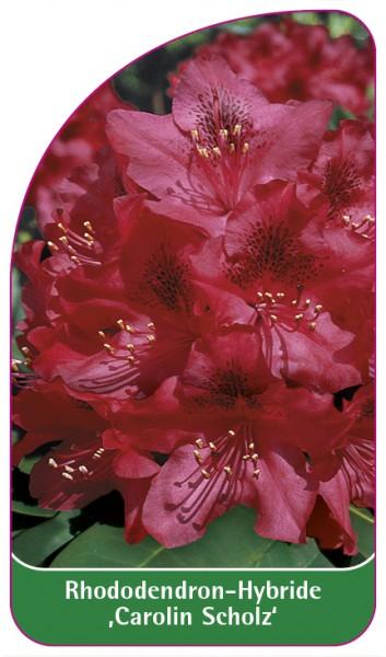 Rhododendron-Hybride 'Carolin Scholz', 68 x 120 mm