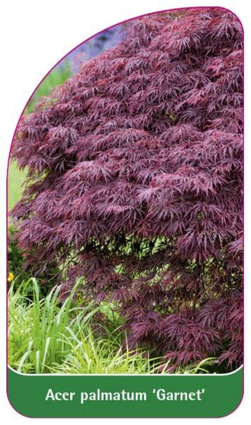 Acer palmatum 'Garnet', 68 x 120 mm