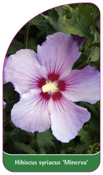 Hibiscus syriacus 'Minerva', 68 x 120 mm