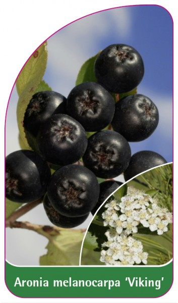 Aronia melanocarpa 'Viking', 68 x 120 mm