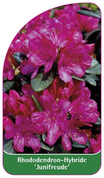 Rhododendron-Hybride 'Junifreude', 68 x 120 mm