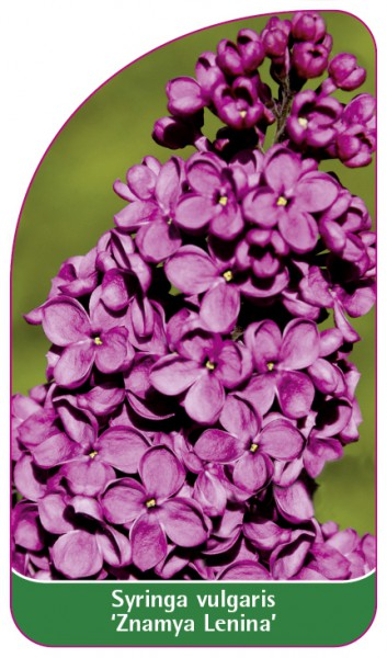 Syringa vulgaris 'Znamya Lenina' (The Banner of Lenin), 68 x 120 mm