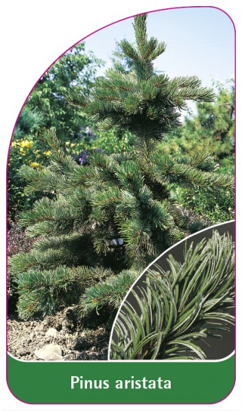Pinus aristata, 68 x 120 mm