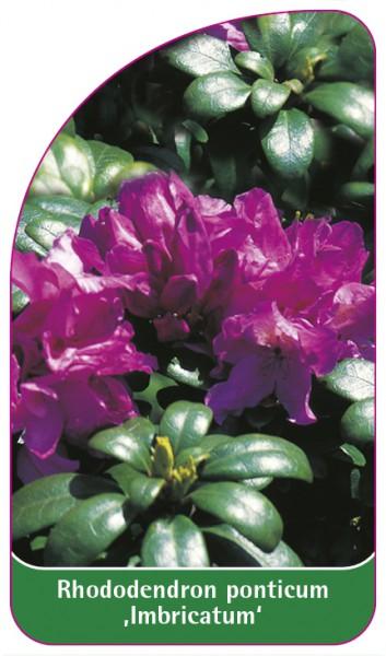 Rhododendron ponticum 'Imbricatum', 68 x 120 mm