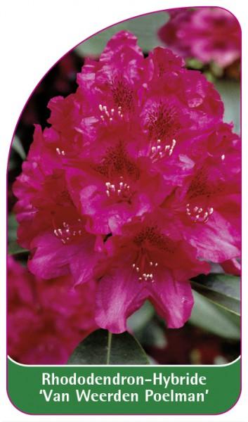 Rhododendron-Hybride 'Van Weerden Poelman', 68 x 120 mm