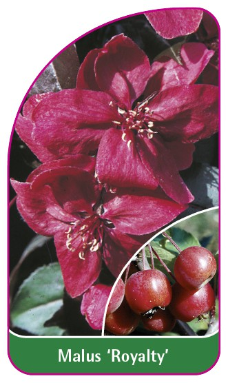 Malus 'Royalty', 52 x 90 mm