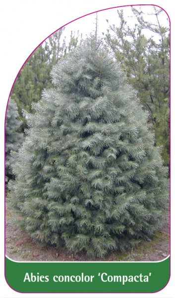 Abies concolor 'Compacta', 68 x 120 mm